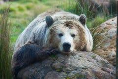 björngrizzly Royaltyfri Fotografi