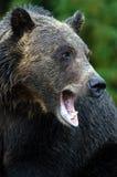björngrizzly Royaltyfri Bild