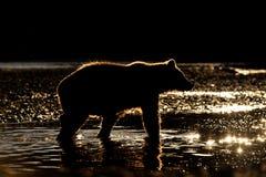 björngrizzly arkivbilder