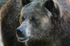 björngrizzly royaltyfria bilder