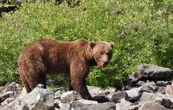 björngrizzlymanlig Arkivfoto