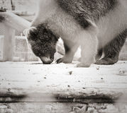 Björnjakt Royaltyfria Bilder