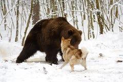 björnjakt Fotografering för Bildbyråer