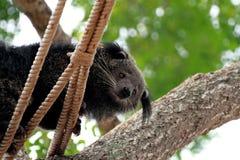 Björnkatten klättrar på rep Royaltyfri Bild