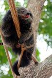Björnkatten klättrar på rep Arkivfoto