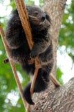 Björnkatten klättrar på rep Arkivfoton