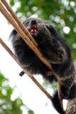 Björnkatten klättrar på rep Fotografering för Bildbyråer