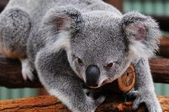björnkoala fotografering för bildbyråer