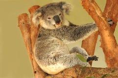björnkoala Royaltyfria Bilder
