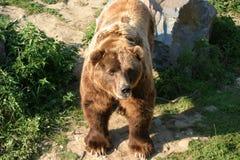 björnkodiak Royaltyfria Foton