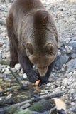 björnkodiak Royaltyfri Bild
