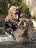 björnlek royaltyfria foton