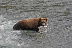 björnlunch s Royaltyfria Bilder