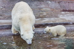 björnmoscow polar zoo Arkivfoton