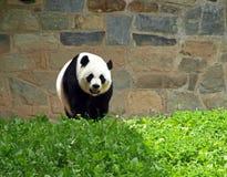 björnpanda Royaltyfri Fotografi