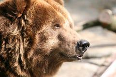 björnprofil Arkivbild
