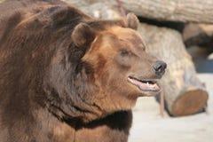 björnryss Fotografering för Bildbyråer