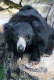björnsloth royaltyfria bilder