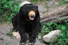 björnsun Royaltyfria Bilder