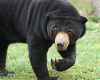 björnsun Fotografering för Bildbyråer