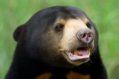 björnsun Arkivbild