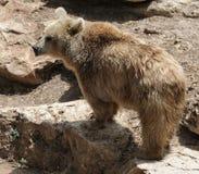 björnsyrian Royaltyfria Bilder