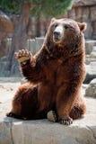 björnvänskapsmatchgrizzly Fotografering för Bildbyråer