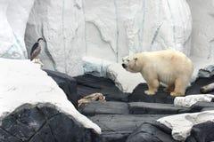 björnwhite royaltyfria foton