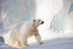 björnwhite Arkivfoto