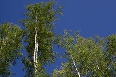 Bj?rktr?d i ljust solsken i sen sommar Tr?d i stammar f?r tr?d f?r en skogbj?rk - svartvit naturlig bakgrund _ arkivfoton