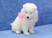 bjelkier逗人喜爱的小狗萨莫耶特人 库存照片