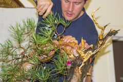 Bjorn Bonholm  in the early stages of creating a Scots Pine Pinus Sylvestris bonsai in a public demonstration in Belfast Stock Images