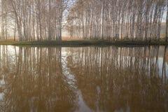 Björkar och deras reflexioner Arkivbild