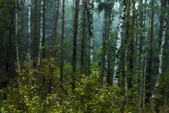 Björkskog i Ryssland Arkivbilder