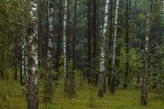 Björkskog i Ryssland Royaltyfri Bild