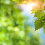 Björkträd under den ljusa sommarsolen Arkivfoto
