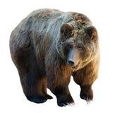 Björn. Isolerat på vit Royaltyfri Fotografi