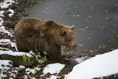 björn nära vatten Arkivfoto