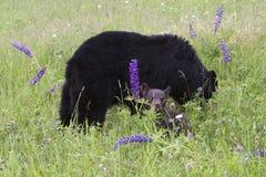 Björn och gröngöling för moder svart i blommor Royaltyfri Fotografi