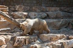 Björn på Haifa Zoo Royaltyfri Bild