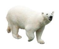 björn som isoleras över polar white Arkivbilder