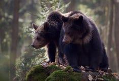 björnar två Fotografering för Bildbyråer