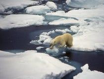 björnis polara svalbard Arkivbilder