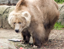 björnkodiak Royaltyfri Foto