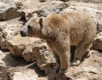 björnsyrian Royaltyfri Foto