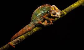 Błękit pantery prętowy kameleon Fotografia Royalty Free