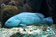 błękit ryba Obraz Royalty Free