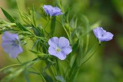 Błękitni lnów kwiaty, Linum usitatissimum Zdjęcia Royalty Free