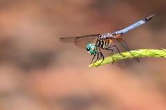 błękitny dragonfly Obrazy Royalty Free