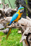 Błękitny i żółty ara ptak Fotografia Stock